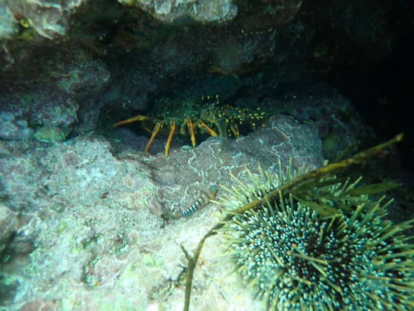Crayfish versus Kina Barren